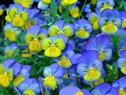 Viola_Tricolor_787