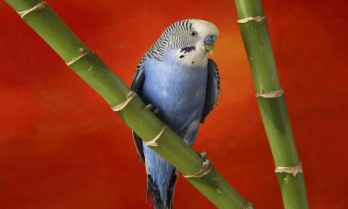 blue-parrot-background